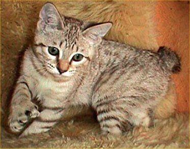 desert-lynx-cat-facts.jpg