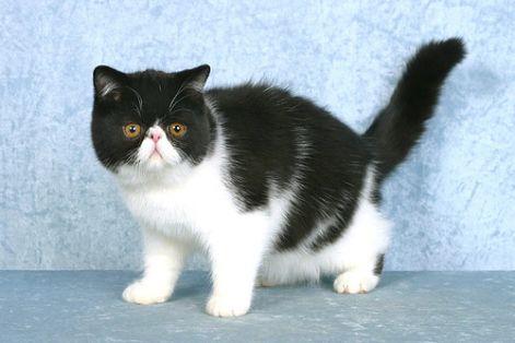 fekete-feher-exotic-macska.jpg